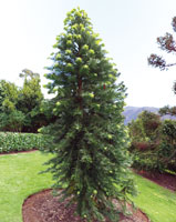 Order Wollemi Pine